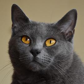 Harmonie by Serge Ostrogradsky - Animals - Cats Portraits