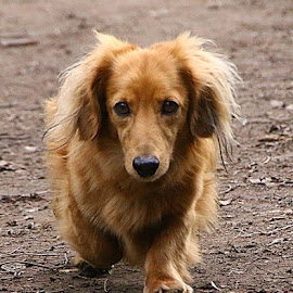 Jamie by Chrissie Barrow - Animals - Dogs Running ( red, dachshund (miniature long haired), pet, male, fur, ears, legs, dog, nose, running, tan, eyes )