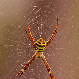 Saint Anrew's crossn spider by Jose Rojas - Animals Insects & Spiders ( saint andrew's cross spider, aracnid, australian spider, spider, insect,  )
