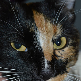 Much better!  Now Lily isn't all sideways... by Sandy Miller - Animals - Cats Portraits (  )