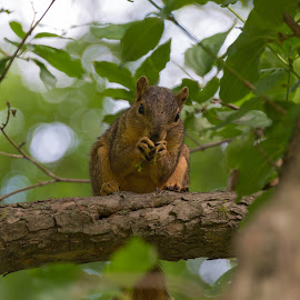 Squirrel at Lunch No. 3 by Timothy Crane - Novices Only Wildlife ( park, pittsburgh, squirrel eating, riverview park, squirrel, acorn )