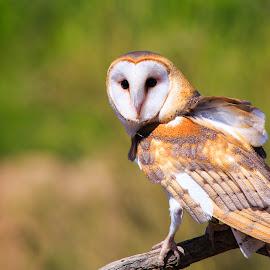 Barn Owl (captive) by Gannon McGhee - Animals Birds ( desert, barn, arizona, tucson, owl, museum )