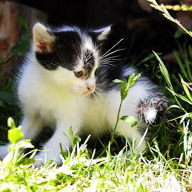 Mujsek by Marko Kosanović - Animals - Cats Kittens ( playing, cats, cat, nature, green, white, cute, black, animal,  )