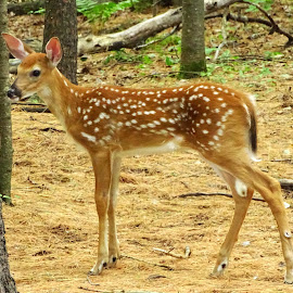 Youngster by Paulette King - Animals Other Mammals ( animals, nature, wild animals, white tailed deer, wildlife, fawn )