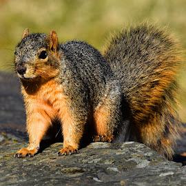Fox Squirrel by Marvin White - Animals Other Mammals ( fox squirrel, fox, red, park, red squirrel, cute, rocks, mammal, squirrel )
