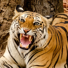The Angry one by Pravine Chester - Animals Lions, Tigers & Big Cats ( bandhavgarh, indian wildlife, big cat, wild, tiger, wildlife, india, wild cats, animal )