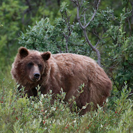 Bus Driver You NEED to get Back on the Bus NOW! by Debbie Salvesen - Animals Other ( grizzly, bear, canada, yukon territory, 2015, alaska, july,  )