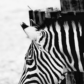 Stripes by Anja Mones - Animals Other ( stripes zebra animal )