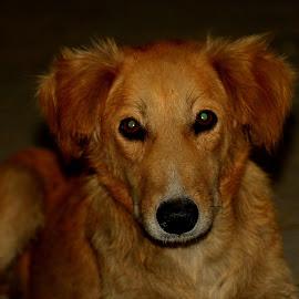 Street Dog by Vijay Singh - Animals - Dogs Portraits