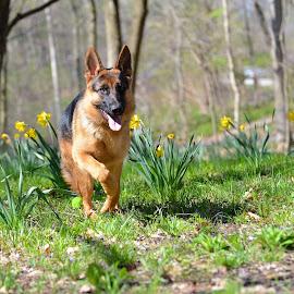 by Sandy Terry-Jones - Animals - Dogs Running
