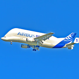 Beluga 1 on finals to CEG by Howard Wilson - Transportation Airplanes ( transport, wings, european aircraft, a300, airbus industries, airbus )