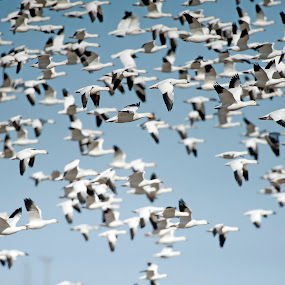 Snow Geese Migration  by Cody Hoagland - Animals Birds