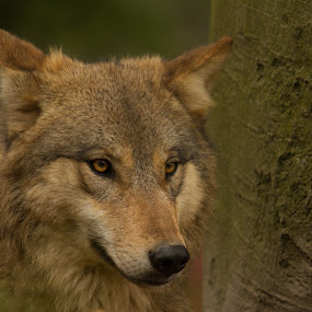 Tibetan wolf  by Marc Zangger - Animals Other Mammals ( tibetan wolf, gray wolf, wolf, yellow eyes, head, canis lupus chanco )
