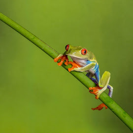 Tree Frog by Garry Chisholm - Animals Amphibians ( garry chisholm, nature, tree frog, amphibian, red eye )