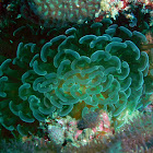 Hammer coral