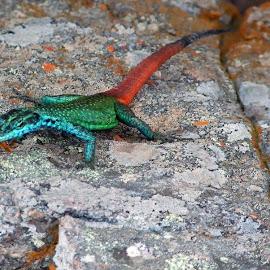 Sekukhune Flat Lizard by Colleen Steel - Animals Reptiles