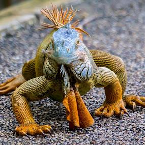 Look at Me by Ken Nicol - Animals Reptiles (  )