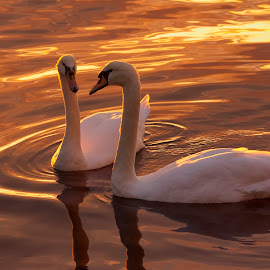 Sunset love by Rune Askeland - Animals Birds ( love, swans, mute swan, sunset, reflections )