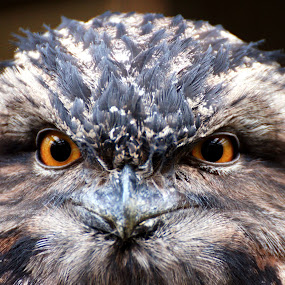 Who you looking at ?  by Mike Hawkwind - Animals Birds ( frogmouth, owl, birds )