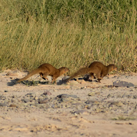 Mongoose Race by Vivek Sharma - Animals Other Mammals ( vivekclix, animals, nature, mongoose, mohali, vivek, run, race )