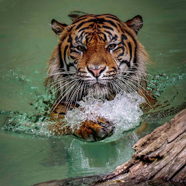 Cooling off by Michael Elliott - Animals Lions, Tigers & Big Cats ( water, splash, swim, tiger sumatran, log )