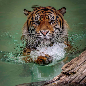 Tiger in water x.jpg