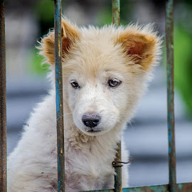 Playing with frame of fences by Kriswanto Ginting's - Animals - Dogs Portraits ( fence, nikon d3100, dog portrait, dog playing, puppy, nikon, dog )