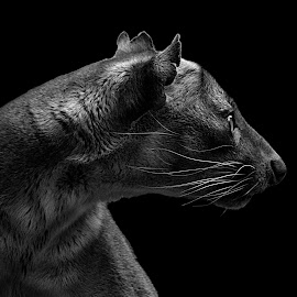 Fossa II B&W by Shawn Thomas - Black & White Animals