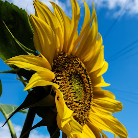 Sunflower  by Claudio de Freitas Photography - Instagram & Mobile Android ( up close, mobilography, london, mobile photos, claudiodefreitasphotography, flower photography, photography, photooftheday, photoshop, street photography,  )