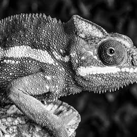Chameleon by Garry Chisholm - Black & White Animals ( chameleon photography, macro, lizard, panther chameleon, nature, garrychisholm, reptile )