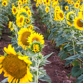 Rows of Sunflowers by Thomas Shaw - Flowers Flowers in the Wild ( flowers, green, north carolina, yellow, nikon d7200, rows, sunflower, sun flower, flower, raleigh, nikon, field, plants, plant, park, photography )