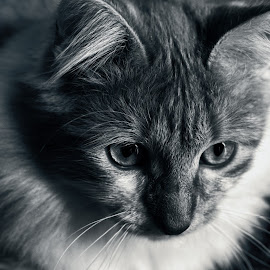 Mr. Z by Carla Roque - Animals - Cats Portraits ( cat, pet, bw, portrait, animal )