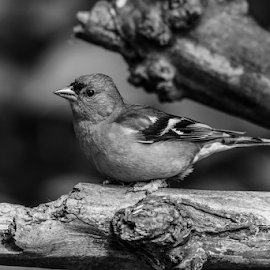 Chaffinch by Garry Chisholm - Black & White Animals ( nature, bird, garden, chaffinch, garry chisholm )