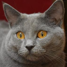 Joconde de Ventadour by Isabelle Ebens - Animals - Cats Portraits ( cat, blue, chartreux,  )