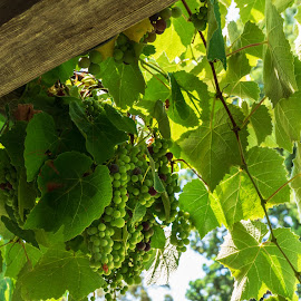 Grapes on the Vine by Lee Davenport - Food & Drink Fruits & Vegetables ( california coast )