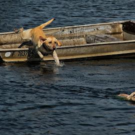 Abandoning Ship by Joe Saladino - Animals - Dogs Playing ( water, boat, dog, swimming, yellow lab )