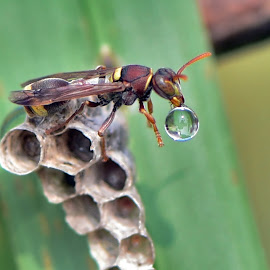 come by Just Arief - Animals Insects & Spiders ( bubble, macro, wasp, insect, photography )