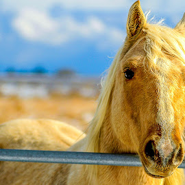 White Mustang. by Andrzej Bajer - Animals Horses ( mustang, horses, horse )