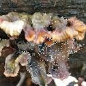 Stickpin lichen