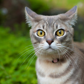 Cat by Dan Thompson - Animals - Cats Portraits ( cat, harness, australian mist, garden, eyes )