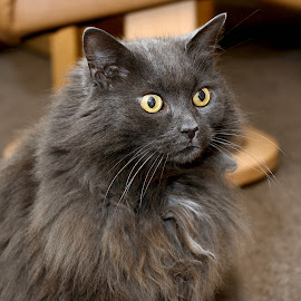 Baby cat desperate for dinner by Stephen Crawford - Animals - Cats Portraits ( hairy, cat, fluffy, persian, grey, baby,  )