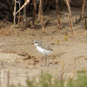 Red-capped Plover (chick)
