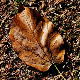 Dry Leaf by Ashwini Attri - Artistic Objects Still Life ( water, dry, grass, brown, leaf )
