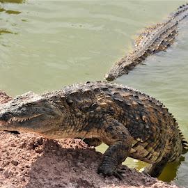 by Albina Jasinskaite - Animals Reptiles
