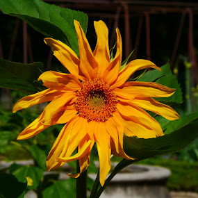 The  by Joatan Berbel - Flowers Single Flower ( garden, madrid, sunflower, colorful, nature photography, flower )