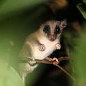 Murine mouse Opossum