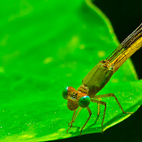 Green & Yellow Dragonfly by Chiradeep Mukhopadhyay - Animals Insects & Spiders ( dragonfly )