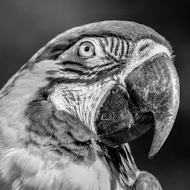 Macaw by Garry Chisholm - Black & White Animals ( nature, bird, macaw.parrot, garry chisholm )