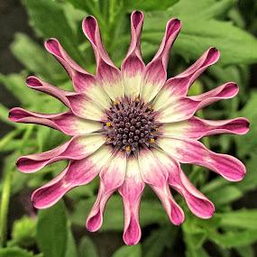 OLI gazenia 02 by Michael Moore - Flowers Single Flower (  )