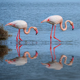 Flamingo double by Gérard CHATENET - Animals Birds